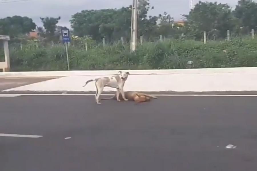 Cachorro tenta proteger amigo atropelado na Avenida Leão Sampaio entre Juazeiro e Barbalha-CE; veja o video